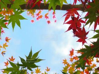 紅葉×青空の写真・画像素材[1619140]