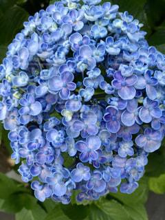 紫陽花の花の写真・画像素材[1364520]