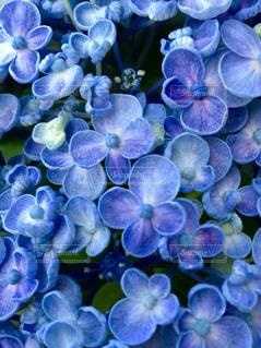 紫陽花の写真・画像素材[1388263]