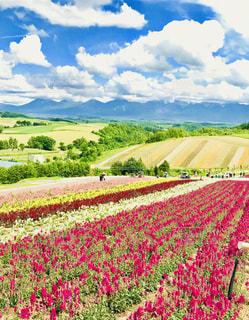 四季彩の丘の写真・画像素材[1417059]