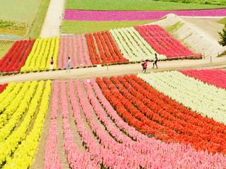 花,花畑,ピンク,北海道,四季彩の丘