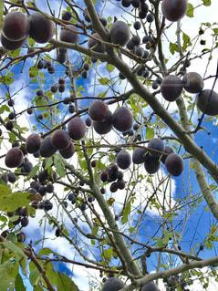 空,秋,雲,木の実,フルーツ,果物,秋空,フォトジェニック,プルーン