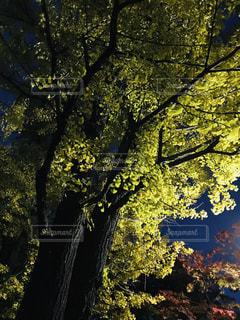 銀杏並木のライトアップの写真・画像素材[1575304]