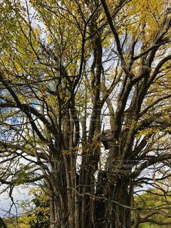 自然,北海道,樹木,パワースポット,未来,ポジティブ,フォトジェニック,可能性,樹齢700年