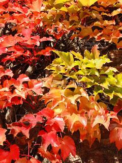 カラフルな紅葉の写真・画像素材[1614105]
