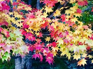 カラフルな紅葉の写真・画像素材[1617753]