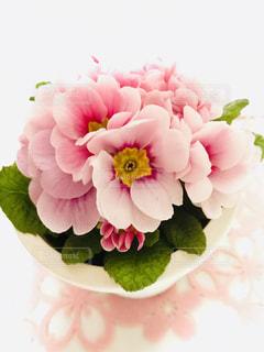 ピンクのジュリアンの花の写真・画像素材[1797025]