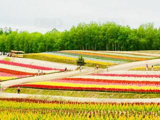 カラフルな縞模様の花畑の写真・画像素材[2155711]