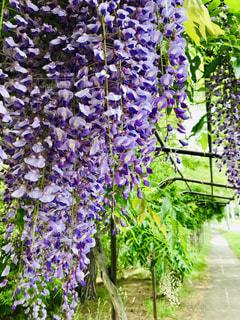 藤の花の写真・画像素材[2271109]