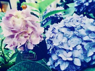 紫陽花のアップの写真・画像素材[1376035]