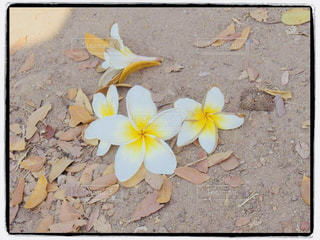 散った花でも美しいの写真・画像素材[1376678]