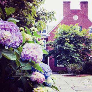 イェール大学  カレッジ内に咲く紫陽花の写真・画像素材[1384967]