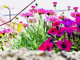 石垣の中に咲く花の写真・画像素材[1386958]