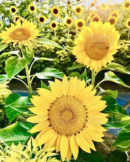 向日葵のアップの写真・画像素材[1386962]