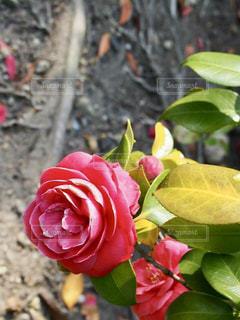 近くの花のアップの写真・画像素材[1410507]