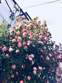 花,ピンク,満開,pink