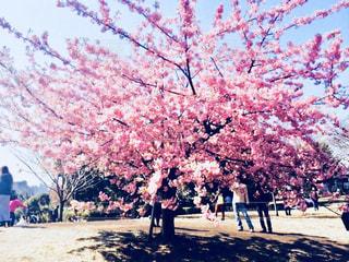 空,公園,花,桜,屋外,ピンク,満開,樹木,地面,pink,草木,日中,さくら