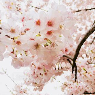 花,桜,ピンク,pink,淡い,さくら,儚げ