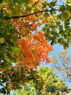 風景,空,秋,紅葉,屋外,樹木,陽射し,秋空,草木,カエデ