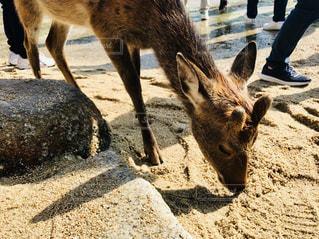 厳島神社の鹿の写真・画像素材[1687596]