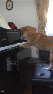 犬,動物,室内,ピアノ,柴犬,練習