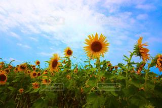 ひまわり畑の写真・画像素材[1367928]