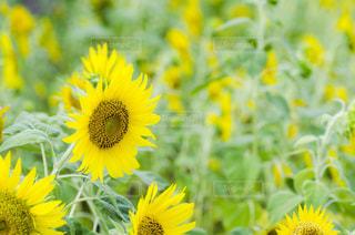 黄色の花の写真・画像素材[1371824]