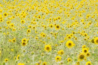 ひまわり畑の写真・画像素材[1377706]
