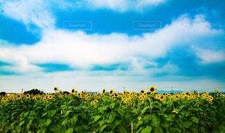 向日葵の写真・画像素材[3007601]