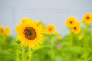 向日葵の写真・画像素材[3007591]
