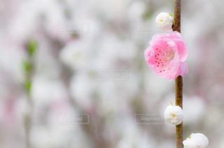 花桃の写真・画像素材[3007593]