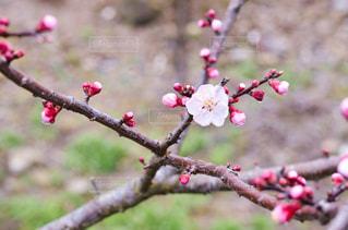 梅の木の写真・画像素材[3024233]