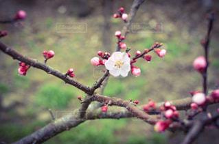 梅の写真・画像素材[3024235]