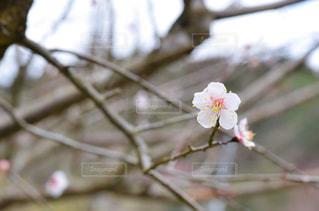 梅の写真・画像素材[3024232]