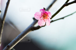 梅の写真・画像素材[3024234]