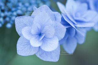 紫陽花の写真・画像素材[3355011]