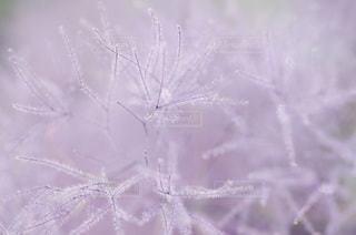 スモークツリーの写真・画像素材[3358034]