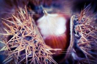 食べ物,自然,秋,栗,野菜,食品,トゲ,トゲトゲ,食材,毬栗,フレッシュ,ベジタブル