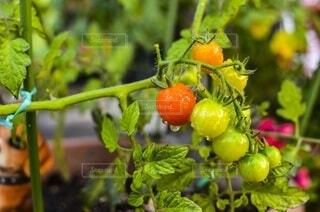 トマトの写真・画像素材[3699053]