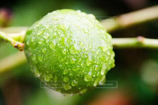 食べ物,自然,木,緑,植物,枝,水滴,木々,野菜,レモン,実,食品,食材,フレッシュ,ベジタブル