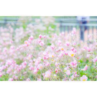 花,ピンク,フラワー,北海道,ピンク色,桃色,pink