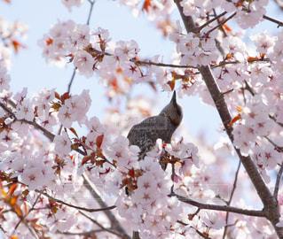 花,桜,鳥,ピンク,フラワー,北海道,野鳥,ピンク色,桃色,pink,ヒヨドリ