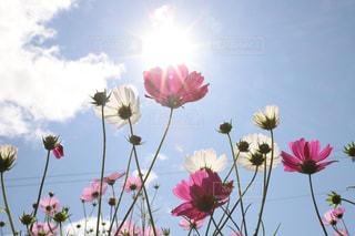 風景,空,花,秋,ピンク,コスモス,フラワー,北海道,秋桜,ピンク色,桃色,秋空,pink