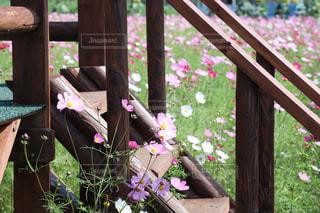 自然,花,秋,ピンク,コスモス,フラワー,北海道,秋桜,ピンク色,コスモス畑,桃色,秋空,pink