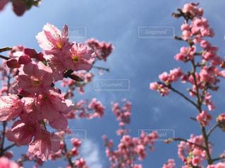 空,桜,ピンク,桃色