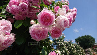 ピンク,バラ,薔薇