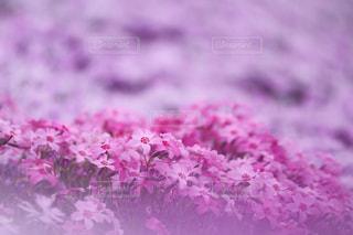 芝桜の写真・画像素材[1372713]