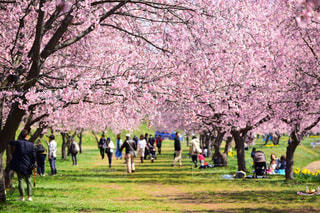 風景,桜,ピンク,桃色,景観,pink,埼玉県,フォトジェニック