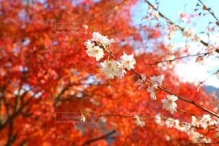 桜,紅葉,埼玉,秋空,景観,お出かけ,フォトジェニック
