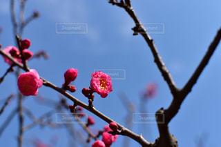 梅と青空の写真・画像素材[3040478]